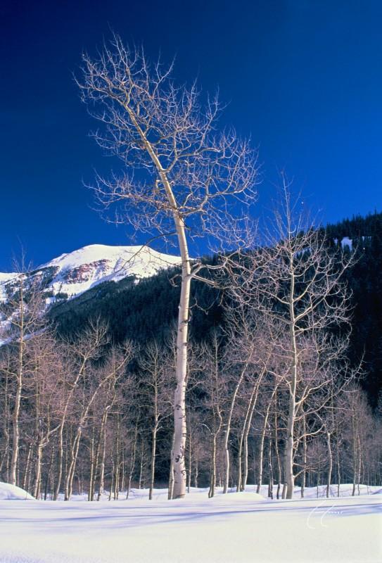 Bent Through Aspen