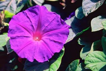Proud Lavender